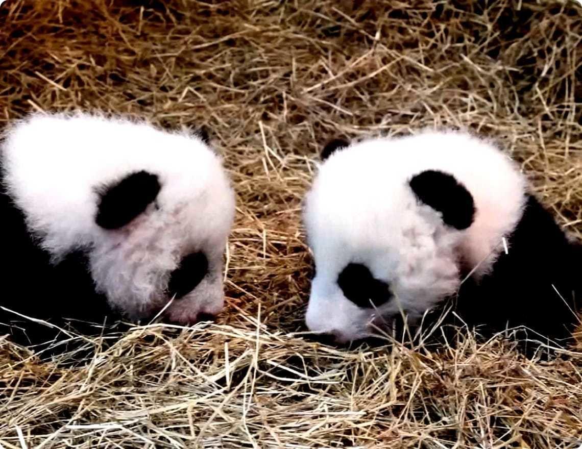 Pandy veľké